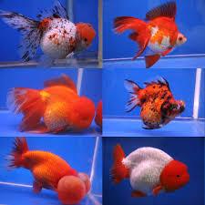 types of goldfish the goldie identification guide my aquarium club
