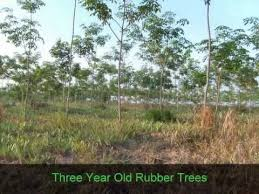 rubber tree plantations for sale in prachuap kiri khan province
