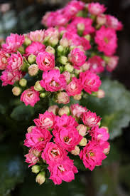 Indoor Flowering Plants by Blooming Kalanchoe Care Plants Pinterest Plants Flowers And