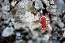 Pictures Of Tiny Red Bugs by Top 7 Bugs That Feed On Humans