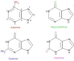 biosynthesis and catabolism of purine and pyrimidine nucleotides