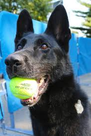 belgian shepherd new york detection dogs images u0026 stock pictures royalty free detection