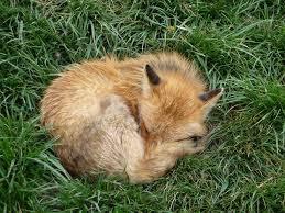 sleeping red fox wallpapers 78 best jejee fox sleeping images on pinterest foxes red fox