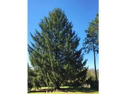 the 2017 christmas tree front u0026 center at rockefeller center