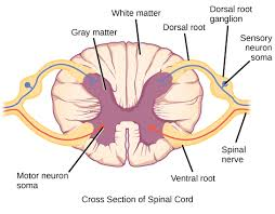 spinal cord cross section explained with health advisor