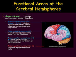 Which Part Of The Brain Consists Of Two Hemispheres The Nervous System Slide Show