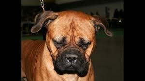 afghan hound least intelligent 17 least intelligent dog breeds kiro tv