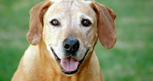 Dogs For The Blind Adoption 7 Reasons To Adopt A Senior Dog Cesar U0027s Way