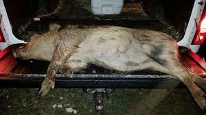 customers successful hunt with killzone flashlights hog lights