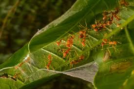 weaver ants a closer look unframe