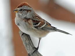 Ontario Backyard Birds American Tree Sparrow Identification All About Birds Cornell