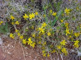 vascular plants of the gila wilderness vascular plants of the gila wilderness thymophylla acerosa