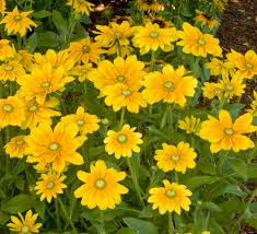 plants native to ireland irish eyes black eyed susan monrovia irish eyes black eyed susan