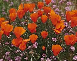 California Poppy California Poppy