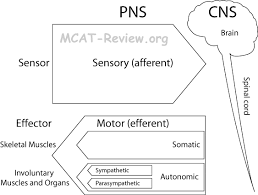 nervous and endocrine systems mcat review