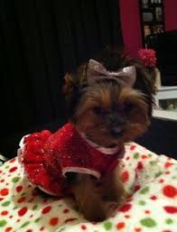 Yorkie Halloween Costumes Dog Halloween Costumes Yorkshire Terrier Yorkie Puppies Dog