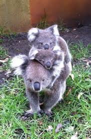 93 best australia fauna images on pinterest animals wild