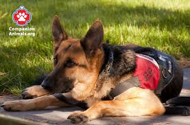 what are service dogs and what do they do companion animals