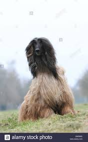 afghan hound dog images dog afghan hound sitting in a meadow stock photo royalty