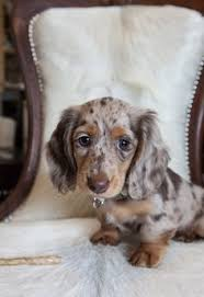 dachshund x australian shepherd friday favorites who dat puppys and dr who