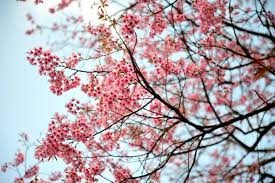 cherry blossoms 6 tips for best photos time com