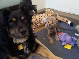 c c australian shepherds louisiana dog helps raise 5 cheetah cubs after mother dies abc news