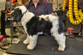 hair cuts for the tebelan terrier taming the tibetan terrier grooming business magazine