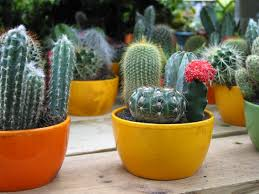cactus free stock photo image mini cactuses picture royalty