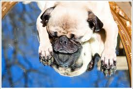 Sad Pug Meme - pug 2