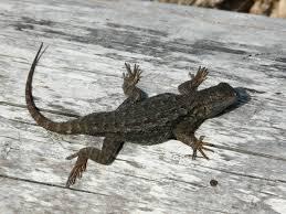 pin by olivia luigs on lizards u0026 frogs u0026 turtles of southern