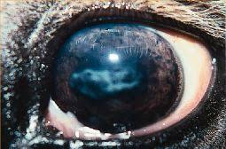 What Causes Blindness In Humans Periodic Ophthalmia Moon Blindness Thehorse Com