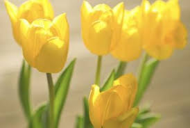 How To Grow A Bulb In A Vase How To Plant Tulips Outside After They Bloom In Pots Home Guides