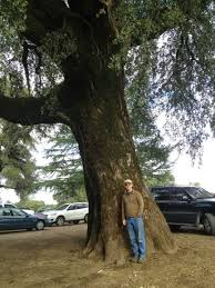 trees of santa cruz county quercus wislizeni interior live oak