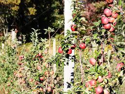 best places to go apple picking near boston boston magazine