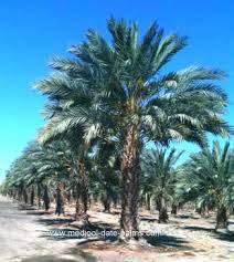 palm sunday palms for sale medjool date palm