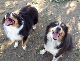 australian shepherd los angeles rescue adoption information u2013 aussie rescue socal