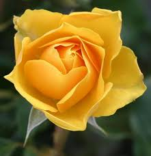 beautiful rose flower quotes holidappy
