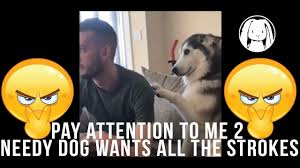 Pay Attention To Me Meme - pay attention to me 2 needy dog wants all the strokes youtube