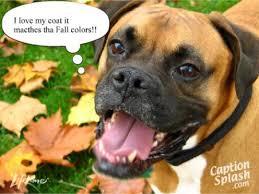 boxer dog meme funny boxer dog bing images dogs pinterest funny boxer