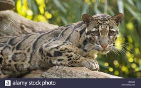 clouded leopard at the nashville zoo stock photo royalty free