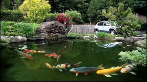 backyard pond koi fish youtube