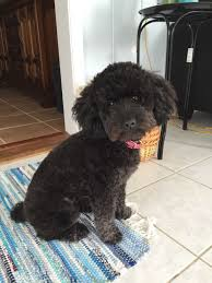 haircutsfordogs poodlemix our toy poodle got an adorable teddy bear cut today let s think