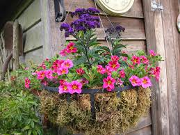 hanging basket plants for sun meet cherry star a new winner for hanging baskets that bloomin