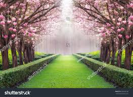 Royalty Free The Romantic Tunnel Of Pink Flower Tree U2026 285922196