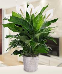 Peace Lily Plant Peace Lily Plant Spathiphyllum Alias Flower Products Boyds