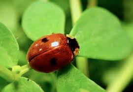 ladybird colors reveal their toxicity to predators says new research