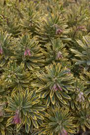 friends of peacehaven botanic park inc new members new plants adenanthos u0027silver lining u0027 water wise plants pinterest