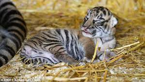 adorable sumatran tiger cub born north yorkshire zoo daily