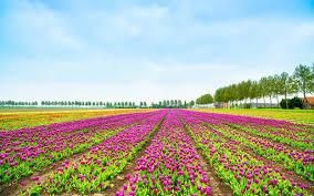 flowerfields and keukenhof gardens