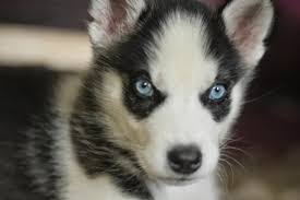 Puppy Face Meme - white wolf 15 cute husky puppy pictures are going to make your day